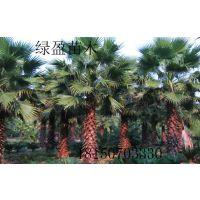 安徽老人葵,大量供应,园林风景树,自产自销