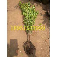 高度45公分瓜子黄杨小苗价格冠幅20公分小叶黄杨苗多少钱一棵