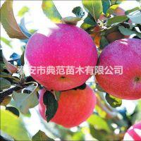 瑞阳苹果苗价格 瑞阳苹果树苗产地批发 品种介绍