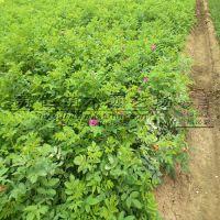 两年月季花绿化苗价格