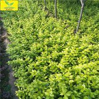 金叶女贞 50公分60公分规格 本地货源 带营养钵 绿化树种 现挖现卖 量大从优