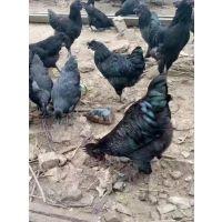 重庆巫溪黑羽土鸡苗销售,黑羽土鸡苗脱温室鸡苗