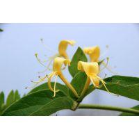 祛病延年的保健植物——金银花植物非试管高效快繁技术快繁金银花