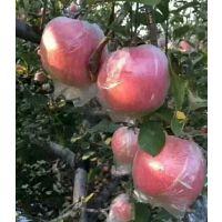 山东红富士苹果信息网 红富士苹果产地价格