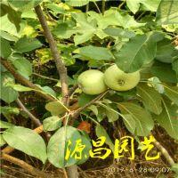 来宾的苹果树苗哪里好 苹果苗的主要特点泰安源昌苗圃批发