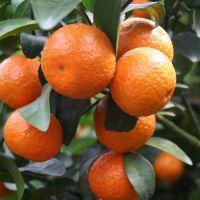 梧州供应检疫柑橘苗|梧州柑橘苗检疫基地批发|梧州柑橘苗销售价格
