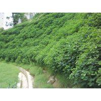 福建省漳州市长得快的护坡种籽哪里有急用