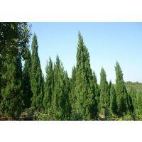 江苏沭阳1.5米高龙柏价格1.8米高龙柏价格