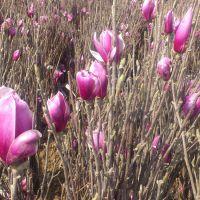 江苏紫玉兰基地 热销地径1-2-3公分紫玉兰小苗 欢迎咨询订购