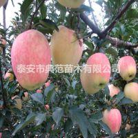 中秋王苹果苗价格 中秋王苹果树苗品种介绍
