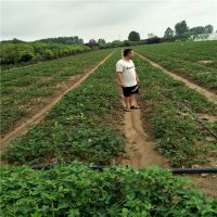 法兰地草莓苗资讯