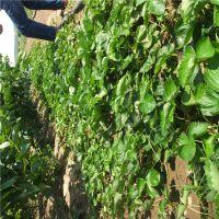 京藏香草莓苗出售 京桃香草莓苗多少钱一棵