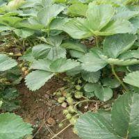 宁玉草莓苗批发供应特价发售价格实惠 新草莓苗品种介绍