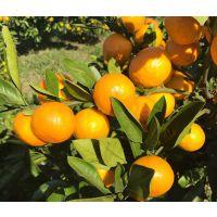 温州蜜桔中糖度的品种 由良蜜桔新柑橘品种