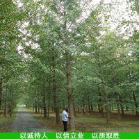 胸径24公分实生银杏树邳州山东实生银杏树24cm批发价格