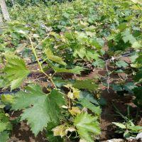 哪里有葡萄苗出售?鑫豪园艺场批发葡萄苗 价格低廉 山东葡萄苗种植基地