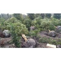 楠木价格|小叶桢楠基地|1-30金丝楠木