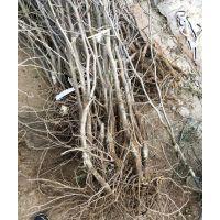 枣树苗,山东枣树苗种植基地