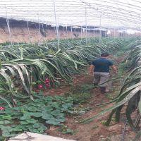 志森园艺批发火龙果品种 红心火龙果苗规格 质优价廉