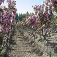 志森园艺供应5厘米樱花树价格 5厘米樱花树品种 质优价廉
