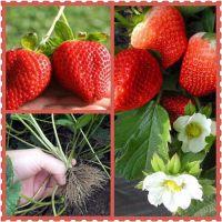 法兰地草莓苗哪里有 法兰地草莓苗多少钱 脱毒三代草莓苗