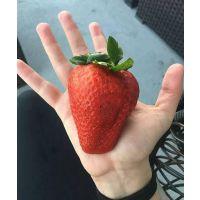 章姬草莓苗批发,矮化红颜草莓苗供应