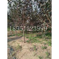 四川地区地径7公分美人梅价格多少钱报价145元每棵风景树基地
