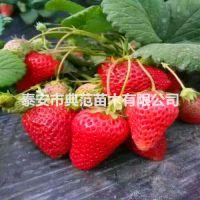 港丰草莓苗价格 港丰草莓苗 山东草莓苗产地批发