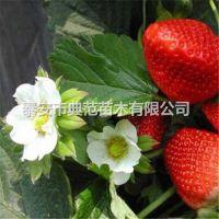珍丰草莓苗价格 珍丰草莓苗 品种介绍产地批发