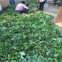广东法兰地草莓苗批发 广西草莓苗品种 法兰地草莓苗价格