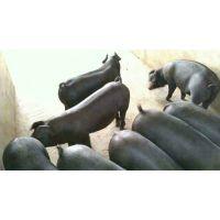 黑太湖母猪多少钱一头小猪崽价格20斤多少钱1斤