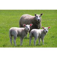 怎样提高母羊产羔率