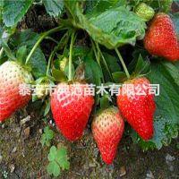 甜查理草莓苗价格 甜查理草莓苗 稳产丰产口感香甜