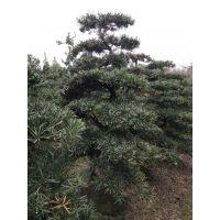 温江罗汉松造型景观罗汉松造型基地树型好以后货源