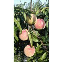 晚熟桃品种 1公分沂蒙霜红桃苗价格
