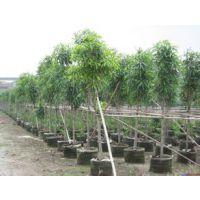 供应广西园林扁桃树 扁桃 一至十年扁桃树苗 扁桃的种子