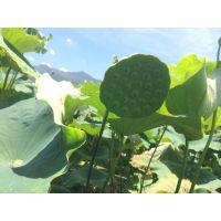 莲子种植技术,太空莲种植 莲种苗出售