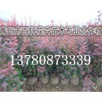 山东青州市红叶小檗幼苗新行情,青州百轩花卉苗木