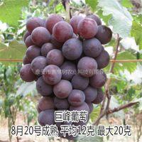 基地直销葡萄苗 新品种巨峰葡萄树苗 铁岭葡萄苗多少钱