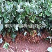 矮丰草莓苗价格 矮丰草莓苗 基地直供成活率高
