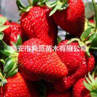 鬼怒甘草莓苗价格 鬼怒甘草莓苗 品种介绍产地批发