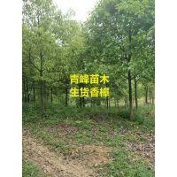 四川香樟种植基地成都香樟大量出售