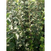 壹棵树 苹果树苗新品种 矮化苹果苗新品种 厂家报价