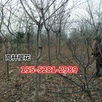 【6公分樱花价格】155-5281-2989