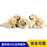 嘉祥县兴亿达精品金毛寻回犬小狗养殖场价格