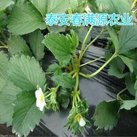 法兰地草莓苗大全