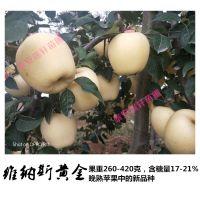 矮化苹果苗 M9T337矮化中间砧木 维纳斯黄金苹果