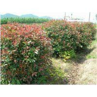 处理种植地80-1米-1.2米冠幅红叶石楠球价格