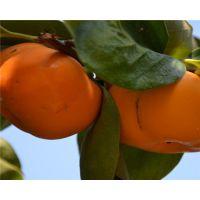 3公分磨盘柿子苗介绍 磨盘柿子米多少钱一棵