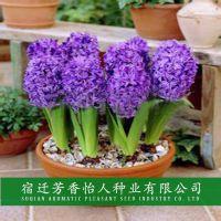 基地直销优质风信子百合水仙郁金香康乃馨种球 水培室内花卉盆栽